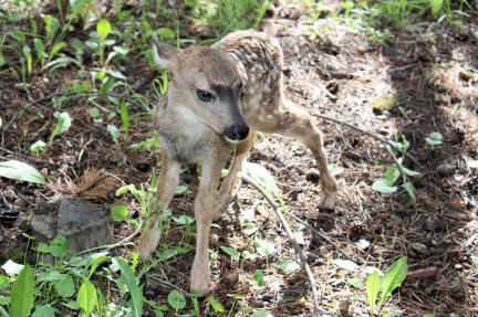 baby-deer